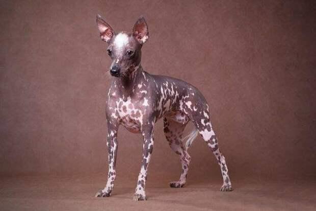 Перуанская голая собака больших, бульдог, до маленьких, питомец, породы, собак, такса