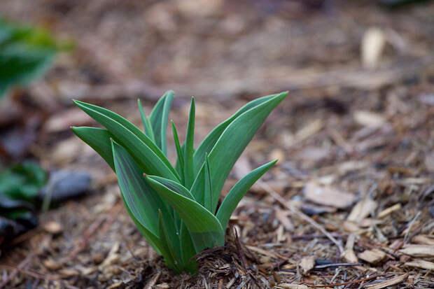 Листья тюльпана