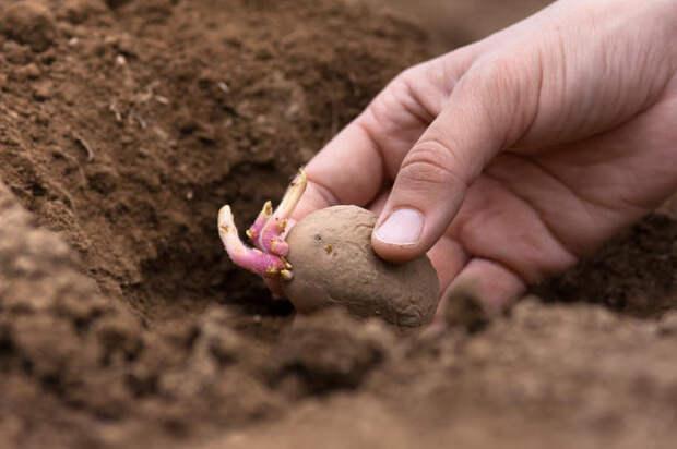 Высаживайте здоровый посадочный материал