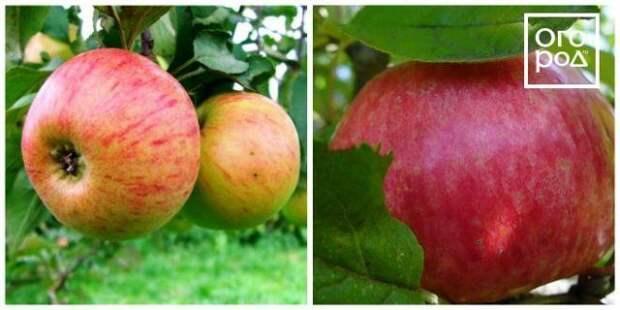 яблоки медуница
