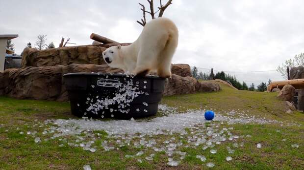 Полярная медведица приняла ледяную ванну в зоопарке Орегона