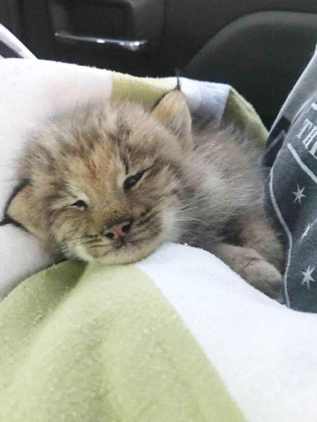Парень подобрал симпатичного котенка, который оказался рысью