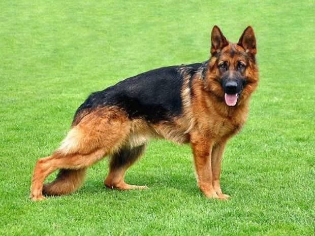 Немецкая овчарка больших, бульдог, до маленьких, питомец, породы, собак, такса