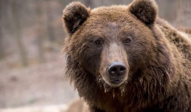 Жители Карелии боятся выходить наулицу из-за медведя