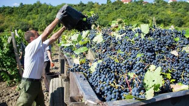 В Симферопольском районе в разгаре  уборка янтарных ягод