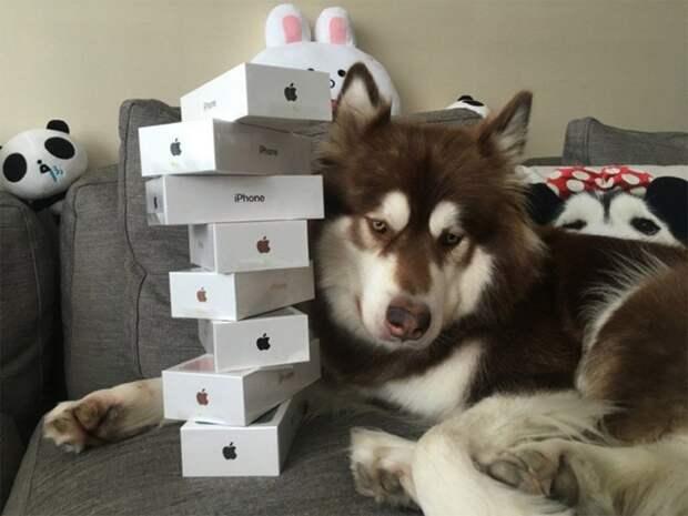 Та самая собака по кличке Коко, которой сын богатейшего жителя Китая подарил восемь iPhone 7 животные, жизнь, мир, роскошь, собака, удобство, фото