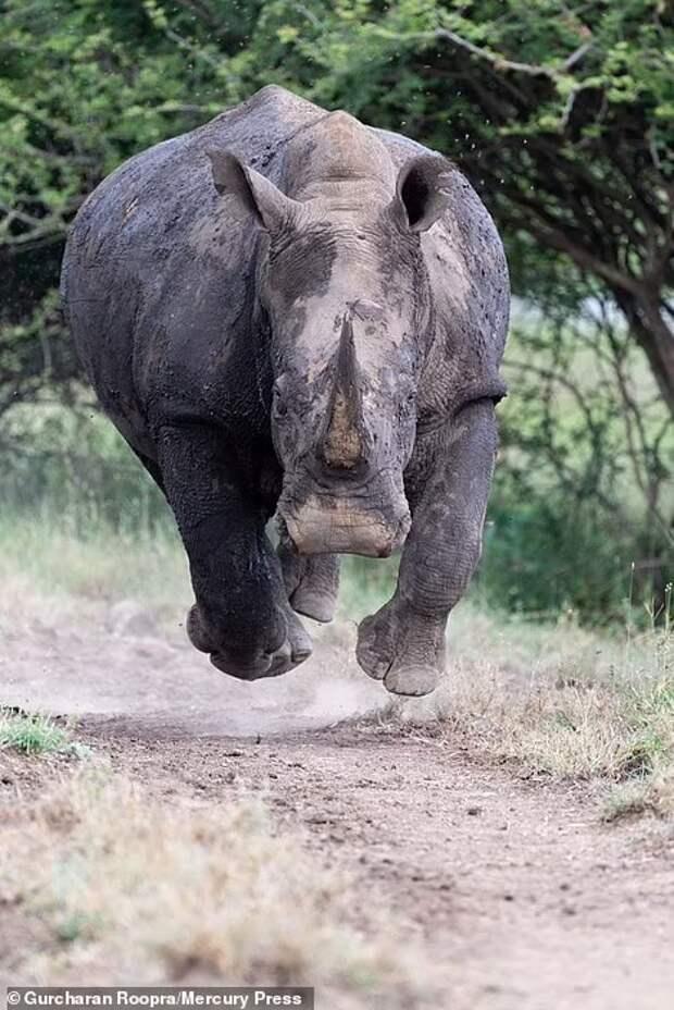 «Носорог увидел нас!» Ужасающий момент: носорог бросается прямо на фотографа