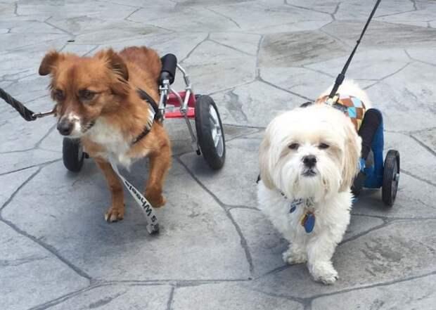 Собака в инвалидном кресле обрела того, кто похож на нее