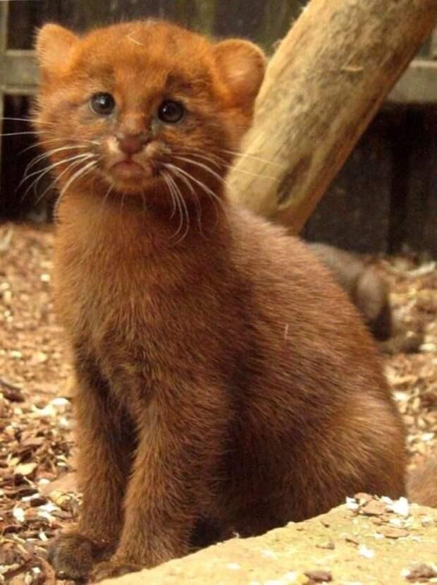 Ягуарунди— длинная чирикающая кошка, которая дружит собезьянами иест бананы