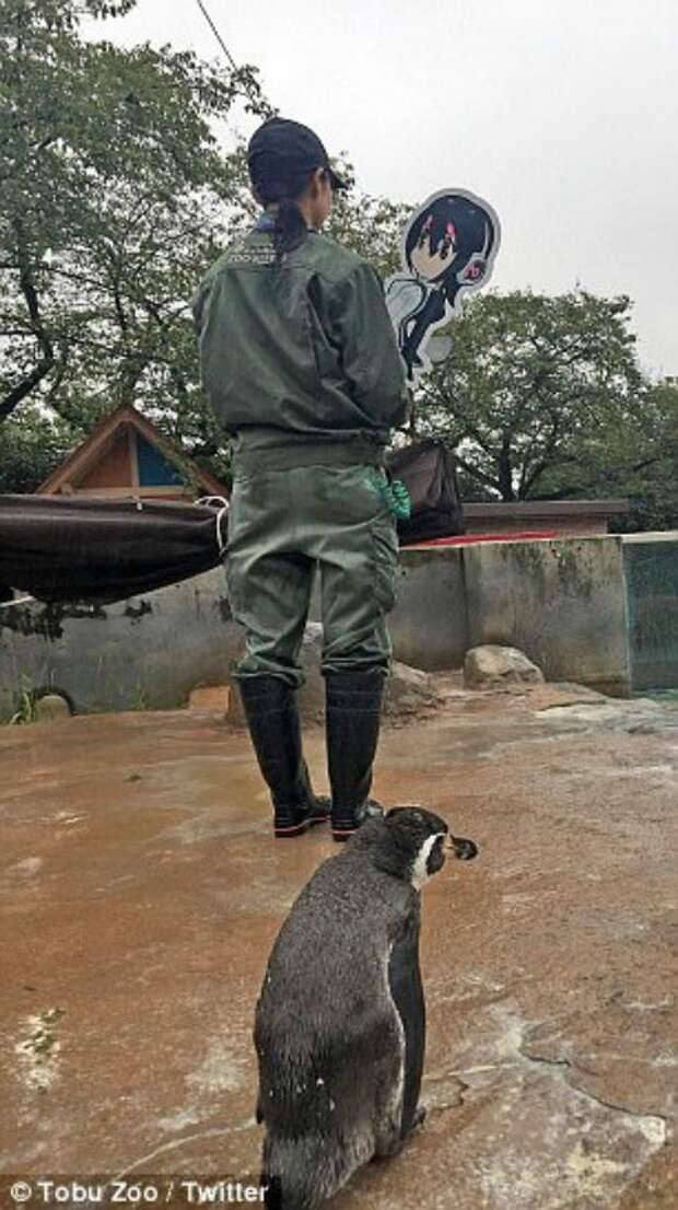 Разбитое сердце: в связи с тайфуном, бушующим в Японии, сотрудники зоопарка были вынуждены принять меры и убрали фигурку из вольера. Грейп, не печалься! грусть, животные, зоопарк, мило, обида, пингвин, пингвины, разочарование