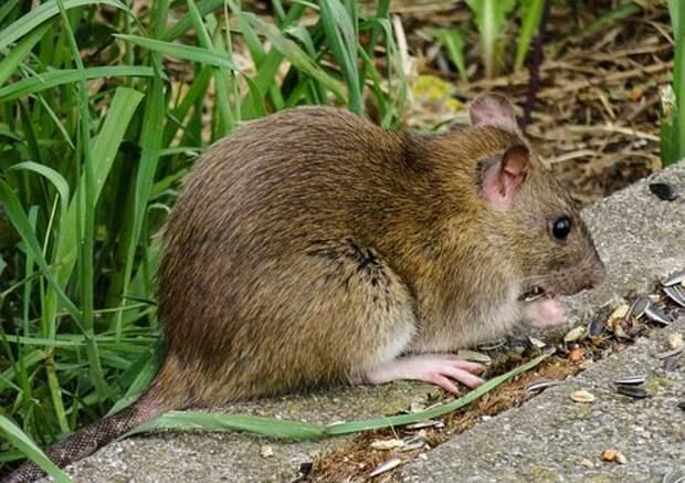 Животный Мир, Нагер, Крыса, Браун
