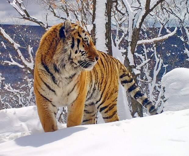 Благодаря нацпрограмме в России сохранена популяция амурских тигров