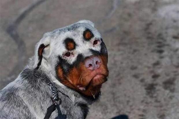 У этого ротвейлера - депигментация из-за витилиго животные, мутации, невероятно, необычно, окрас, собаки, удивительно, фото
