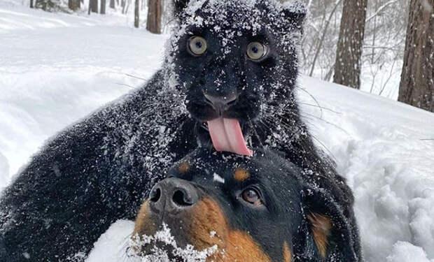 Сибиряки взяли домой пантеру и воспитывают ее как домашнего кота