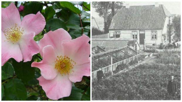 Роза сорт Sparrieshoop, фото с сайта rossroses.com.au. Хозяйство Кордесов в 1900 году, фото с сайта newflora.com