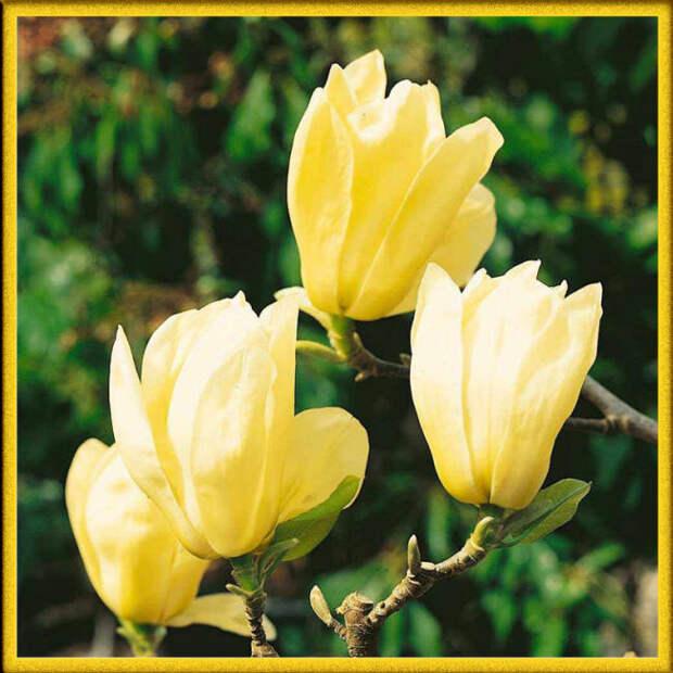 Магнолия желтая