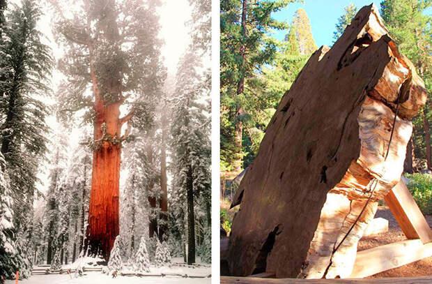 Красивое заснеженное дерево Генерал Шерман (справа). Срез секвойи (слева).