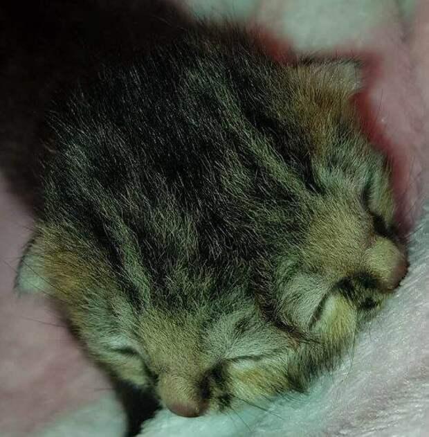 Бетти Би — новорожденная двуликая кошка-Янус Бетти Би, домашний пиитомец, животный, кошка, милота, янус