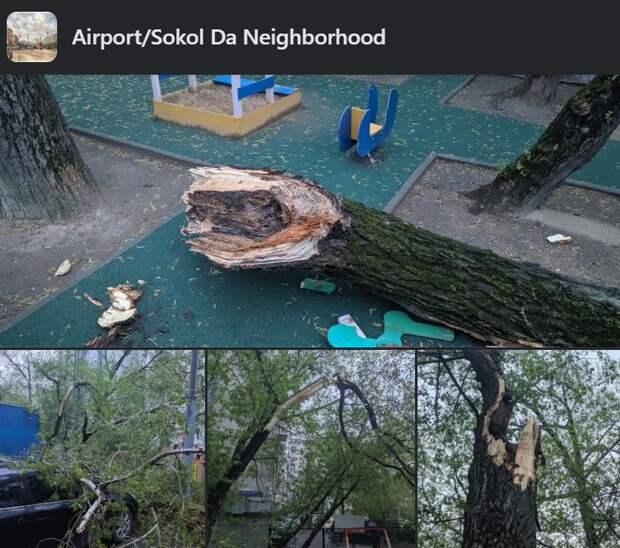 Огромное дерево упало во дворе на Ленинградке