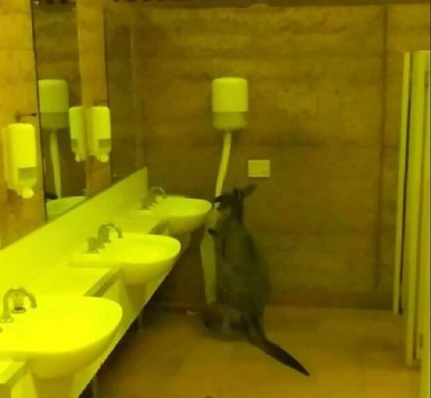 Кенгуру в туалете
