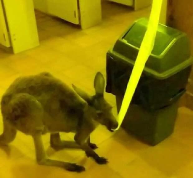Кенгуру ест бумагу