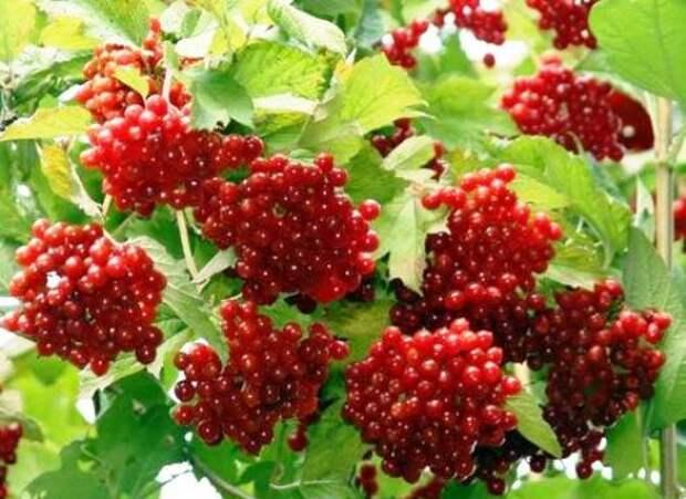 Калина ягода лечебные свойства