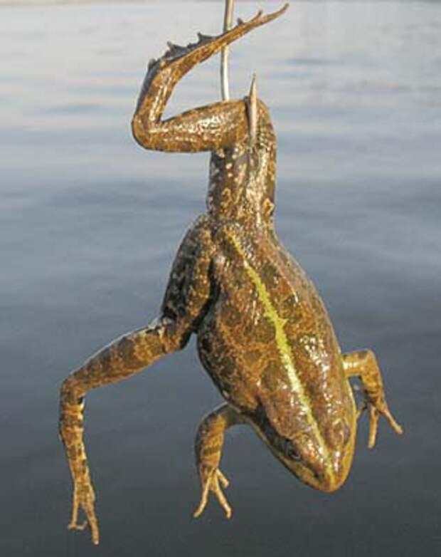 как правильно насаживать лягушку на крючок