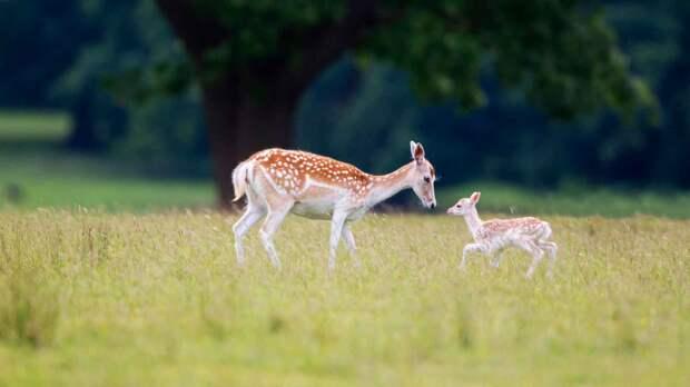 Лань: Тот случай, когда охота обеспечила животному светлое будущее. Благодаря нам эти копытные завоевали четверть мира!