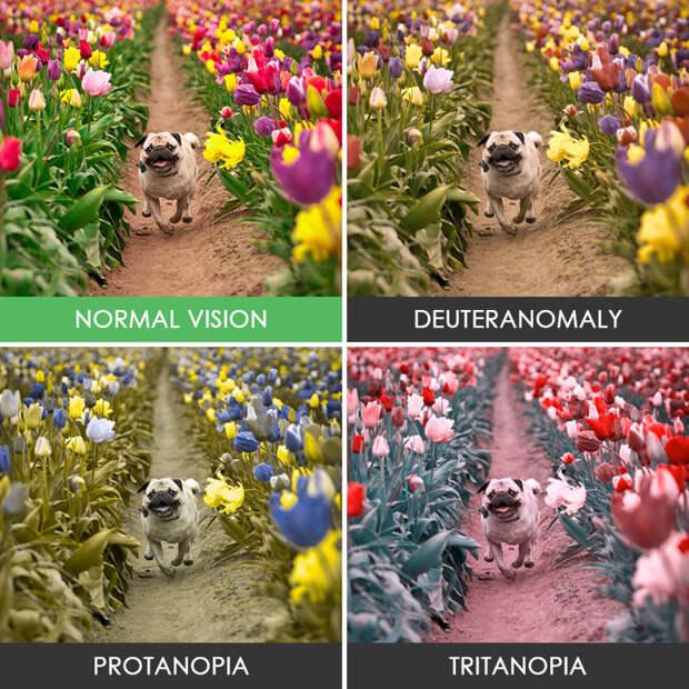 1. Мопс в тюльпанах  дальтонизм, люди, мир