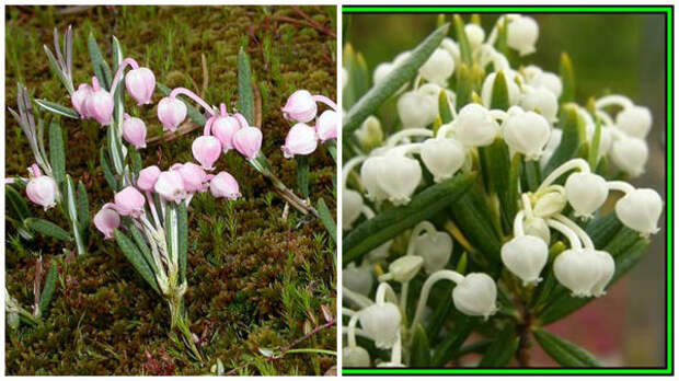Подбел обыкновенный, фото сайта liste_photos и альба, фото сайта Bidorbuy