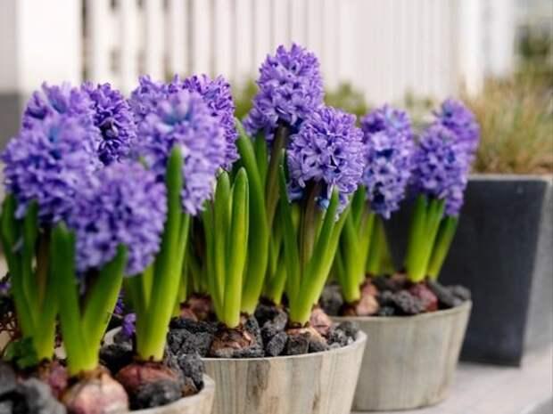 Hyacinthus цветёт в горшках