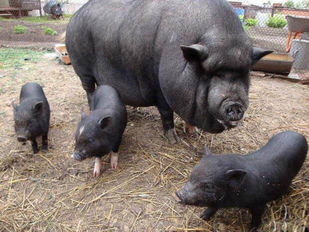 В украинском селе домашние свиньи сожрали своего хозяина-пенсионера