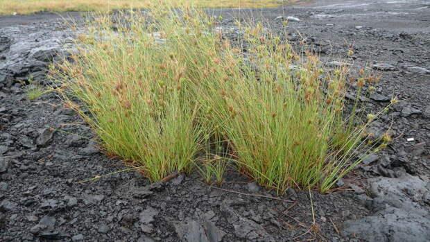 На поверхности битума растет трава