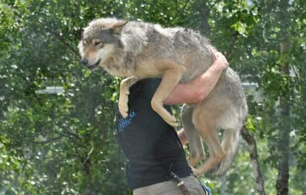 Бегущий с волками: история норвежца, ставшего настоящим альфа-самцом в мире, вожак, волк, домашний питомец, животные, история, люди