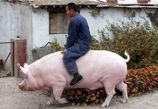 Фермер из Китая вырастил свинью размером с медведя