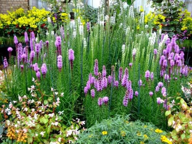 Лиатрис колосистая, Лиатрис колосковая, белая и фиолетовая формы