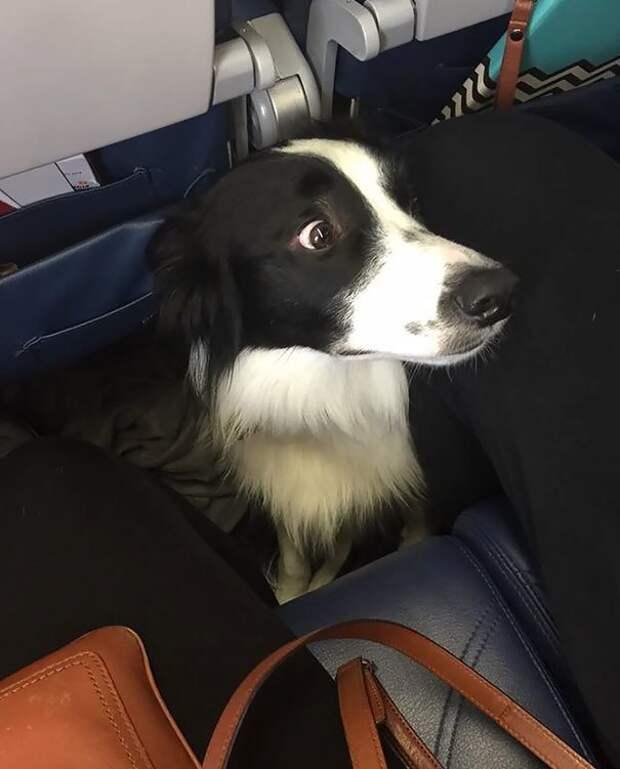 Ой, а что это нас так трясет?! животные, забавно, летайте самолетами, мило, пассажиры, самолет, собаки, хвостатые пассажиры