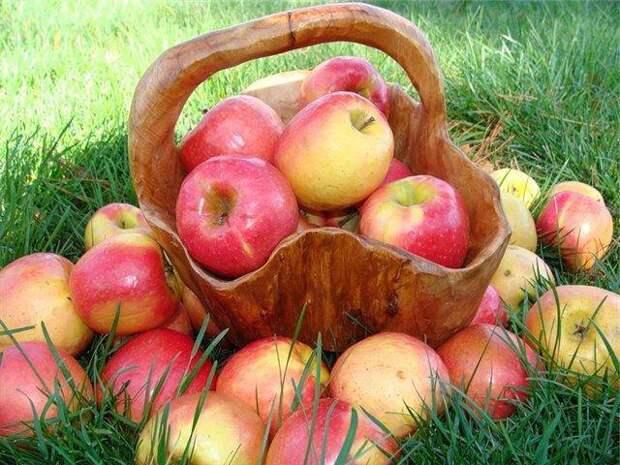 В Тимирязевке собрали уникальный урожай яблок