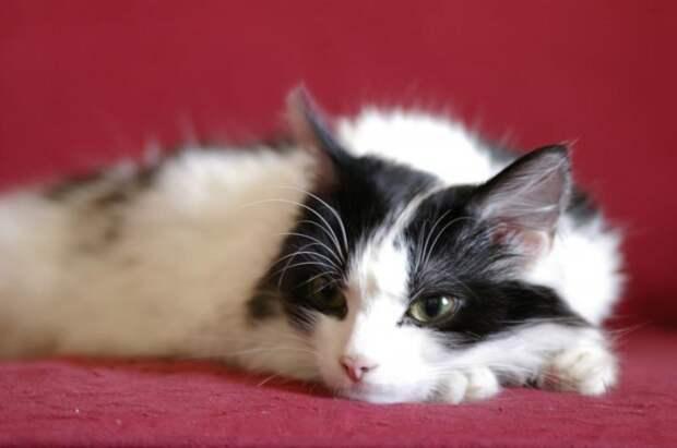 Кожные болезни кошек