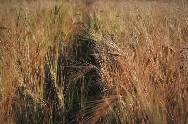 За майские праздники экспортные цены на российскую пшеницу выросли на $21