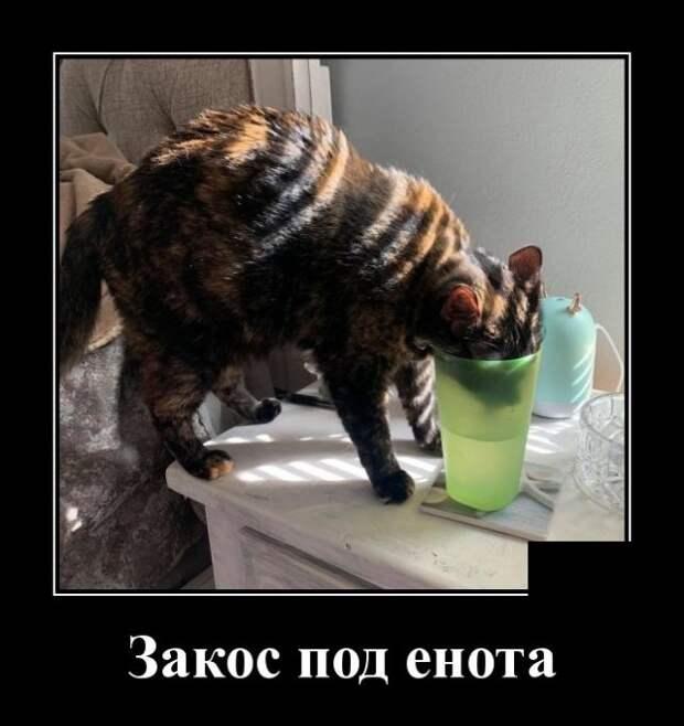 Демотиватор про кота и енота