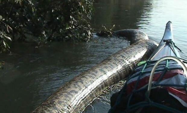 Гигантская анаконда перегородила реку в Бразилии