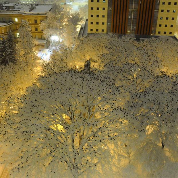 Vorony na snegu 2