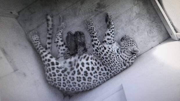 В Центре восстановления леопарда на Кавказе родились два котёнка