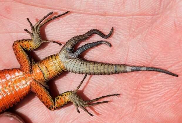 Иногда у ящерицы заново отрастает не один, а два или три хвоста: интересное, рептилии, ящерицы