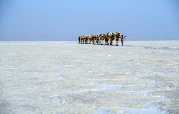 Караван верблюдов с добытой солью, Даллол, Эфиопия