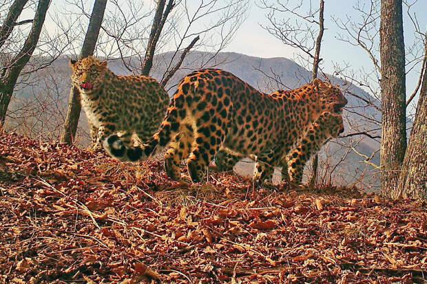 «Земля леопарда» показала подросших котят леопарда