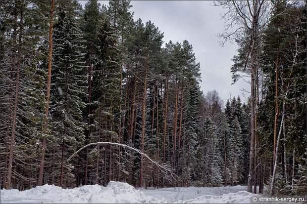 Еловый лес зимой