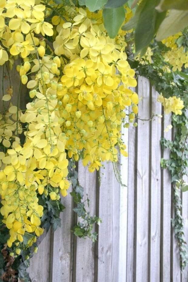 кассия на фоне забора дизайн сада в желтом цвете