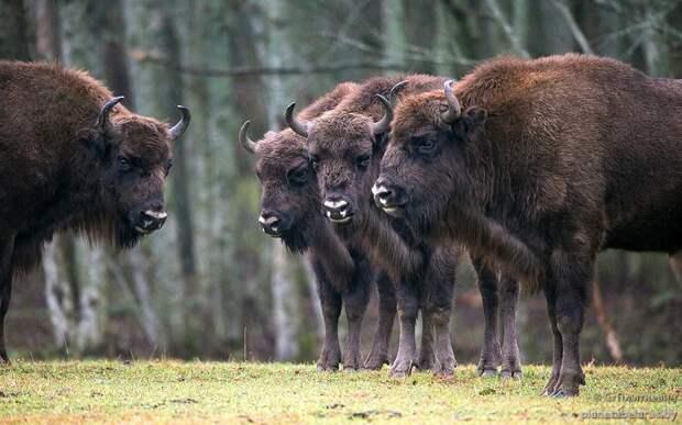 Зубр является самым тяжёлым и крупным наземным млекопитающим Европы.